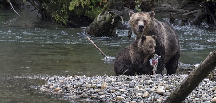 On the Road to Adventure with Grizzly Bears!
